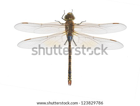 Dragonfly Anax ephippiger on a white background