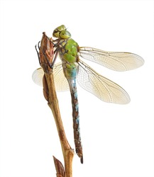Dragonfly Anax imperator (female) Blue Emperor on a white background