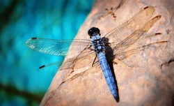 Dragonfly and blur blue bokeh background. Beautiful close up detail of blue dragonfly. Dragonfly isolated.