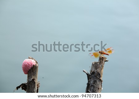 dragonfly and golden apple snail egg on top of the wood.