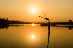 Dragonfly and sunset