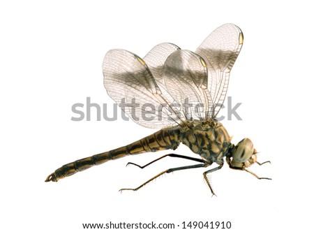 Dragonfly Brachythemis impartita (male) on a white background Imagine de stoc ©