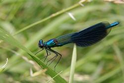 Dragonfly Calopteryx splendens, male, metallic blue.