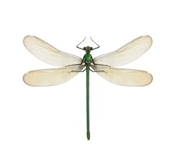Dragonfly Calopteryx syriaca (female) on a white background