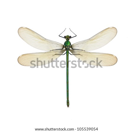 Dragonfly Calopteryx syriaca (female) on a white background