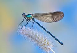 Dragonfly Calopteryx syriaca (male) on a plant