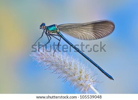 Dragonfly Calopteryx syriaca (male) on a plant - stock photo