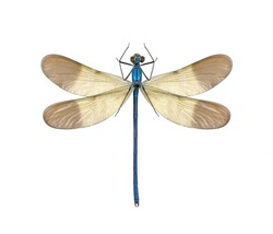 Dragonfly Calopteryx syriaca (male) on a white background
