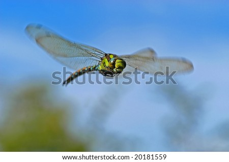 dragonfly caught in flight (aeshna viridis)