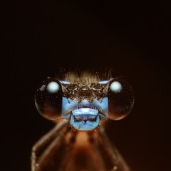 dragonfly close up macro portrait