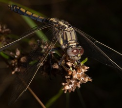 Dragonfly closeup resting on a branch.  Macro shot, with clear eyes and wings.  Great detail.  Shot in Australia.