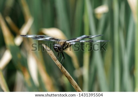 Dragonfly closeups,  twelve spotted skimmer #1431395504