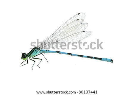 Dragonfly Coenagrion hastulatum (male) on a white background