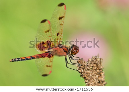 Dragonfly - Damselfly