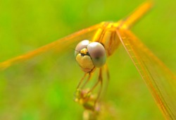 dragonfly, damselfly resting on the garden in morning sun light.Red dragonfly siting on dry branch of tree. wildlife insects dragonfly extremely close up shoot. Natural photography of dragonfly.