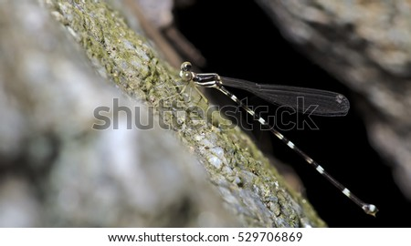 Dragonfly, Dragonflies of Thailand ( Protosticta khaosoidaoensis ), Dragonfly rest on rock #529706869