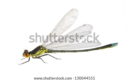 Dragonfly Erythromma najas (male) on a white background
