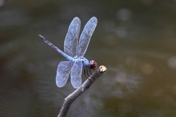 dragonfly,fly catcher,water ,blur background