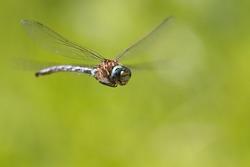 Dragonfly, flying