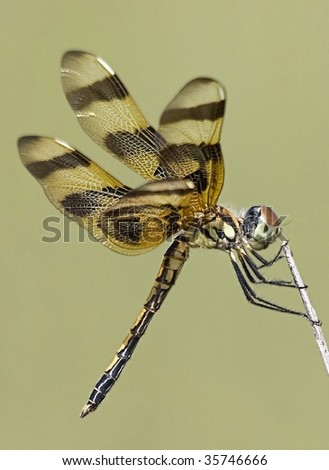 stock-photo-dragonfly-halloween-pennant-celithemis-eponina-perching-on-a-branch-35746666.jpg