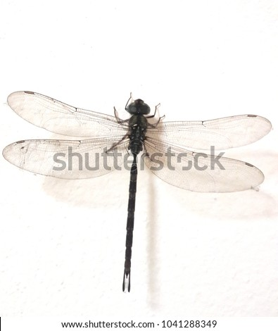 Dragonfly hanging on a white wall. Pigeon is a wonderful poultry. Can fly with transparent wings. Feel the freedom. #1041288349