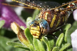 Dragonfly head with water drops after rain close-up.
