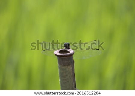 Dragonfly hiding behind a rusty pole in front of a rice field ストックフォト ©