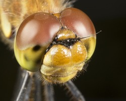 dragonfly- high magnification