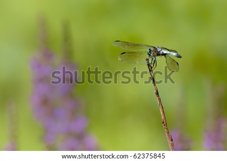 Dragonfly in a field of purple flowers - stock photo