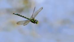 Dragonfly in flight over a biotope