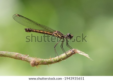 Dragonfly in nat Cat Tien's jungle Photo stock ©