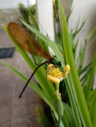 Dragonfly in nature. Dragonflies in natural habitats. Beautiful natural scenery with dragonflies. Beautiful dragonfly sitting on yellow flower garden from Malang city Indonesia.