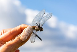 Dragonfly in the hands of a young girl close-up against the blue sky.The wings are covered in dewdrops.A small, fragile insect in the early morning.The concept of conservation and protection of nature
