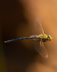 Dragonfly in the Kruger National Park South Africa