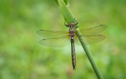Dragonfly in the nature. Perfect macro dragonfly.  Cordulia aenea