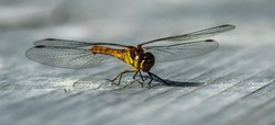 Dragonfly, insect in Kemeru National swamp