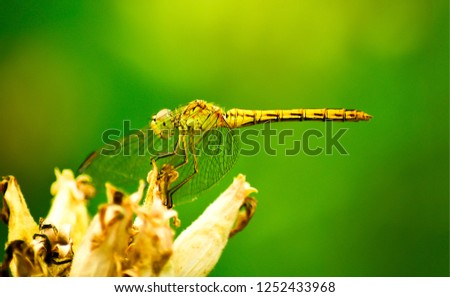 Dragonfly isolated on green. Dragonfly isolated. Dragonfly on flower. Dragonfly closeup