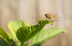 Dragonfly landed on green leaf.
