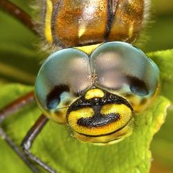 Dragonfly (Latin Odonata). Head of a dragonfly largely