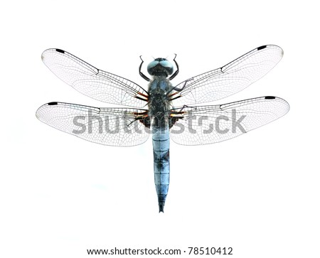 Dragonfly Libellula fulva (male) on a white background