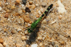 Dragonfly lime green Devil's Darning Needle  with transparent wings resting on coarse sand