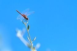 Dragonfly macro. Colourful red dragonfly rests on the top of a green plant branch on a blue or azure sky background after a hard day of flights.