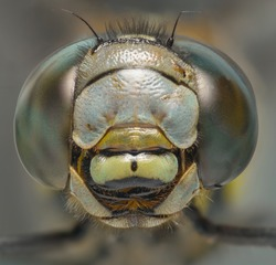 Dragonfly macro head shot front view