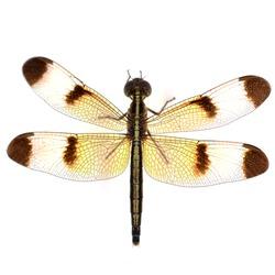 dragonfly macro isolated on white background