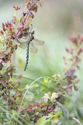 Dragonfly Migrant Hawker (Aeshna mixta) - autumnal makro photo