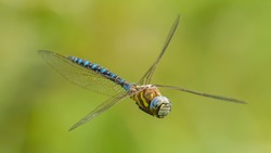dragonfly migrant hawker (Aeshna mixta) in flight