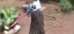Dragonfly on a dry wood with a blurry background. close up macro side view of isolated beautiful black and red color dragonfly relaxing on a tip of dry stick wings down and ready to fly.