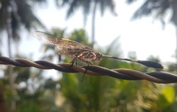 Dragonfly on a electric wire with a blurry forest and sky background. isolated golden dragonfly with transparent shiny wings reflecting sunlight. relaxing and ready to fly. macro close up side view.