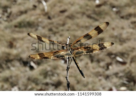 Dragonfly on a stick and you can see the sparkling wings over a monochromatic background #1141599308