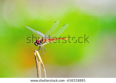 Dragonfly on blurry backgrond:Close up,select focus with shallow depth of field. #658318885